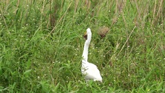 Great Egret Catching Fish in Marsh in Louisiana Stock Footage