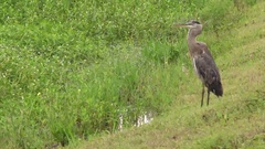 Heron Standing Next to Marsh in Louisiana Stock Footage