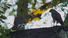 Two juvenile cooper's hawk Perched in tree From Back Stock Footage