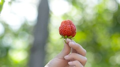 Berries ripe strawberry in the palm of a girl Stock Footage