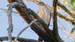 Juvenile cooper's hawk Perched in tree Stock Footage