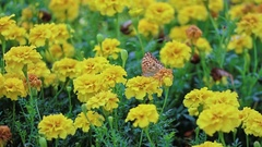 Butterfly on marigold flower Stock Footage