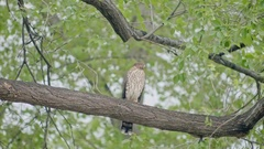 Coopers Hawk Flying away Under Branch Stock Footage