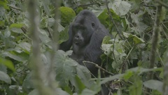 Gorilla eating leaves in the African jungle. Stock Footage