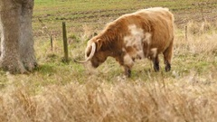 Special highland hairy cow Stock Footage
