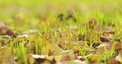 Close up autumn linden leaves on the grass in morning light Stock Footage