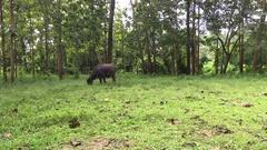 Footage black Asia buffalo eats in green grass field near trees Stock Footage
