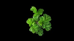 Phototropism effect in growing rosa rubiginosa plant in RGB + ALPHA matte format Stock Footage