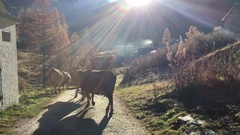 Cows walking on a path in the Alps Stock Footage