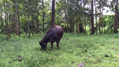 Footage black Asia buffalo eats in green grass field near trees, real time. Stock Footage