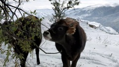 Cows on the snow-covered highlands area eats leaves Stock Footage