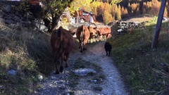 Shepherd dog is leading cows on a path Stock Footage