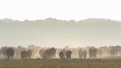 European Bison. Herd. Stock Footage