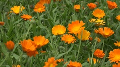 Marigold flower herb blooms move in wind in rural garden plantation. 4K Stock Footage