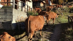 Cows walking trough an alpine village Stock Footage