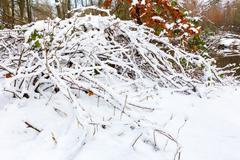 Branches of blacberry bush covered with white snow Stock Photos