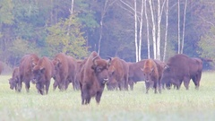 European Bison. Herd. Autumn. Feeding. Stock Footage