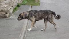 Stray Dog walking Stock Footage