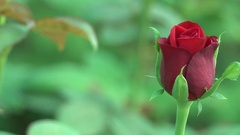 Stunning Red Rose Flower Bud Closeup 4K Nature Footage Bokeh Background Stock Footage