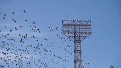 A large flock of birds flying around the stadium tower Stock Footage