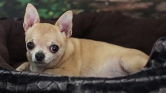 Portrait of chihuahua looking to camera Stock Footage
