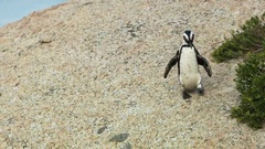 Jackass penguin in national park near Cape Town Stock Footage