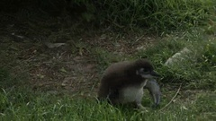 The baby bird of the African penguin runs on a grass to the mother Stock Footage