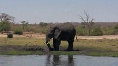 African elephant mud splash Stock Footage