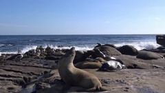 The seals on the beautiful coast of California. San Diego. Stock Footage