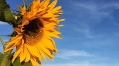 Sun Flower Sky Stock Footage