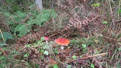 Fly amanita mushroom in forest of baltic sea region Stock Footage