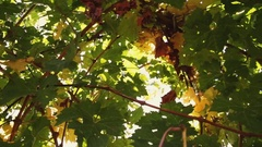 Vineyard tabletop design. Wine background. Autumn design with vineyard and empty Stock Footage