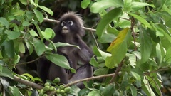 Dusky Leaf Monkey Stock Footage
