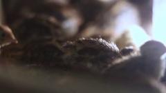 Small quail in incubator Stock Footage