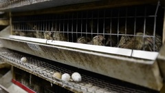 Production of quail eggs Stock Footage