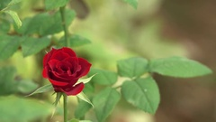 Red Rose Flower Bud 4K Nature Footage with Bokeh Effect Background Stock Footage