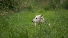 Arctic White Wolf in Grass Stock Footage