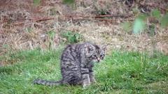 Scottish Wildcat Kitten Stock Footage