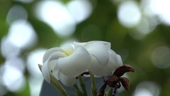 Beautiful White Flower Closeup with Bokeh Background 4K Nature Footage Stock Footage