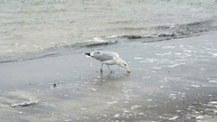 Common gull (Larus canus) on the beach of Prora on Rugen island (Germany). se Stock Footage