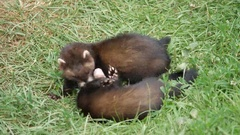 Polecat Kits Playing / Fighting Stock Footage