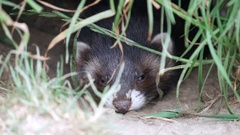 Polecat Kit Stock Footage