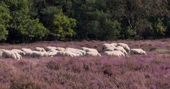 Flock of Veluwe Heath sheep moving across heathland, The Netherlands Stock Footage
