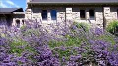 Beautiful lavender flowers swaying in front of old church building Stock Footage