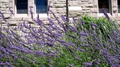 Beautiful lavender flowers and reeds swaying in front of old building Stock Footage