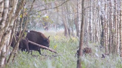 European Bison scratching  leg. Stock Footage