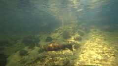 Salmon Return to Home Stream to Spawn Stock Footage