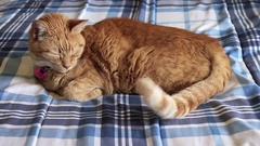 Orange cat wags tail while sleeping Stock Footage