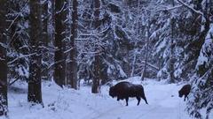European Bison in winter forest. Stock Footage