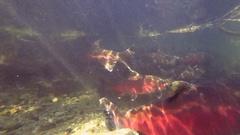 Salmon Return to Home Stream to Spawn Stock Footage